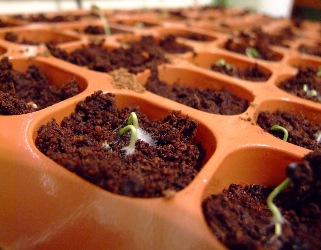 Germinating pepper seeds