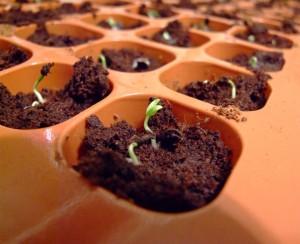 Germinating pepper seeds