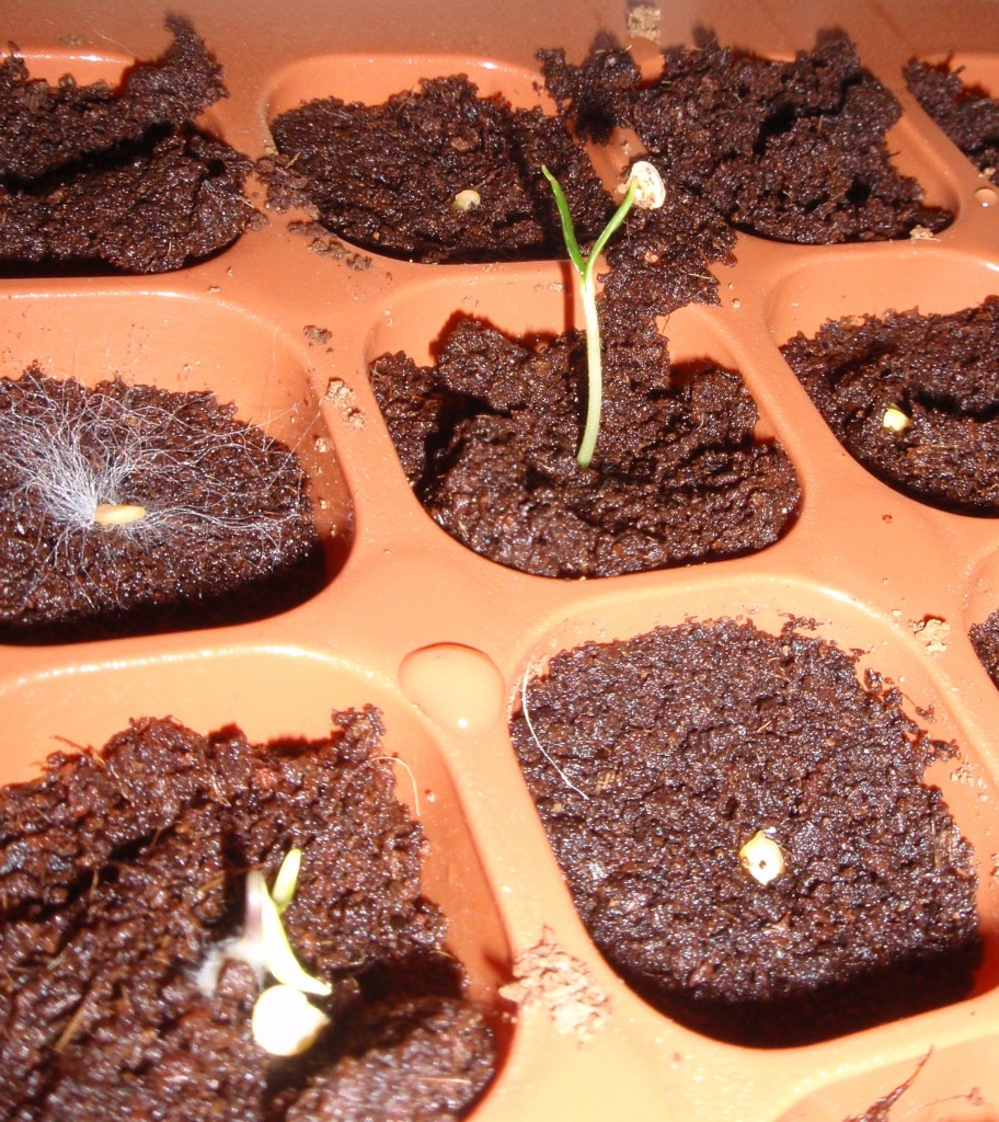 Germinating pepper seed cotyledons reaching for the light