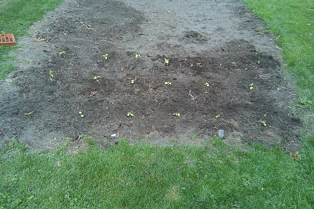 Little peppers in the ground!